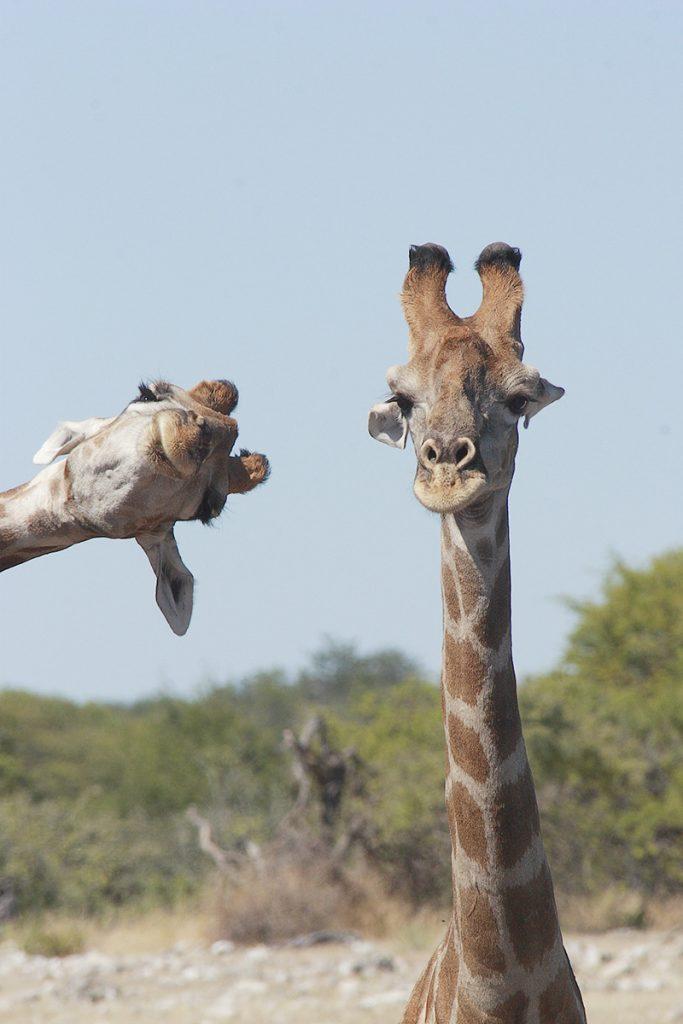 Żyrafy - fotobombing. Fot. © Brigitte Alcalay-Marcon / Comedy Wildlife Photo Awards 2020