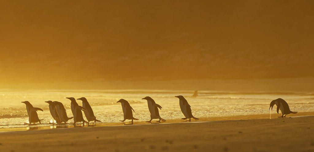 Pingwiny białobrewe. Fot. © Christina Holfelder / Comedy Wildlife Photo Awards 2020
