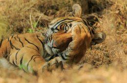 Tygrys bengalski. Fot. © Jagdeep Rajput / Comedy Wildlife Photo Awards 2020