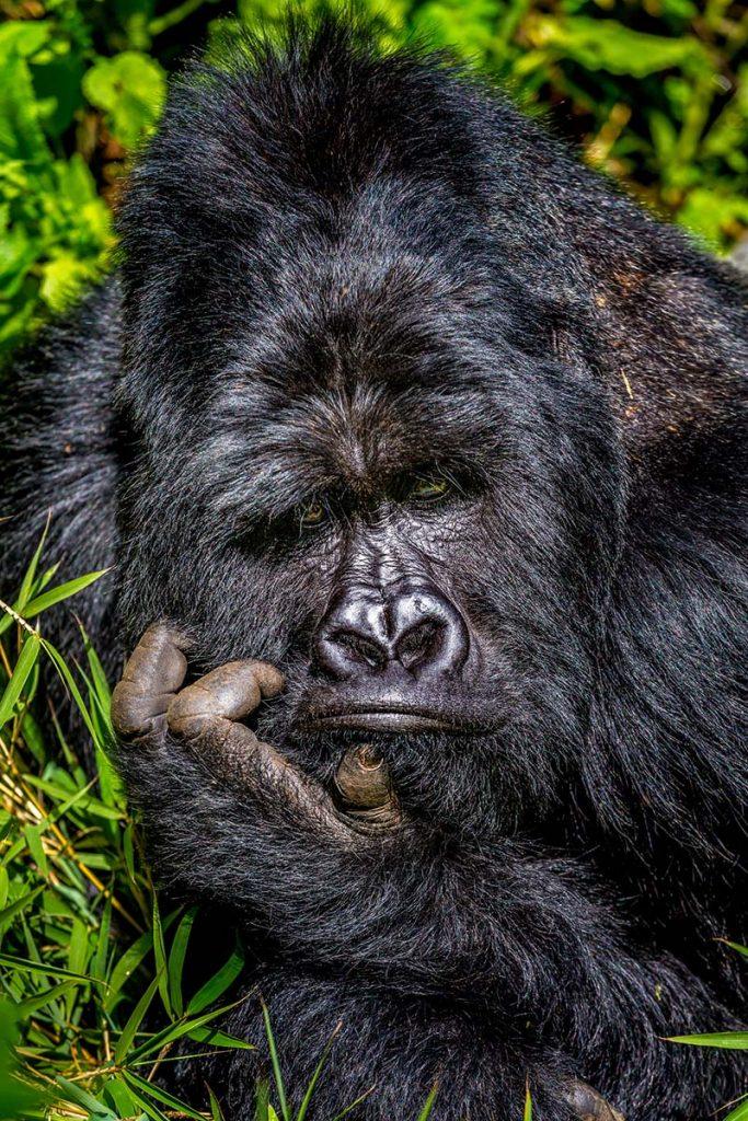 Goryl górski. Fot. © Marcus Westberg / Comedy Wildlife Photo Awards 2020