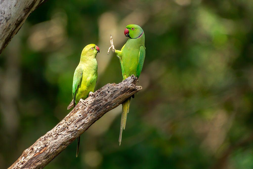 Social distance, please! Aleksandretty obrożne. Fot. © Petr Sochman / Comedy Wildlife Photo Awards 2020