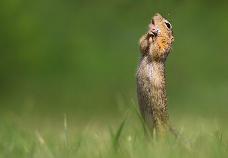 O sole mio! Suseł. Fot. © Kranitz Roland / Comedy Wildlife Photo Awards 2020