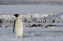 Kupa pingwinów, widziana z kosmosu, zdradziła nieznane kolonie tych ptaków