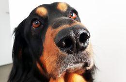 Psy potrafią wywąchać koronawirusa