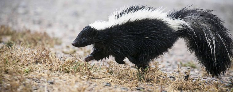 Skunks. Fot. USFWS Mountain-Prairie (CC BY 2.0)
